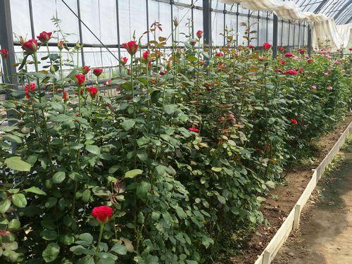 切り花(バラ)の生産ハウス