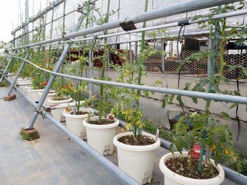 ハウス脇のトマト栽培