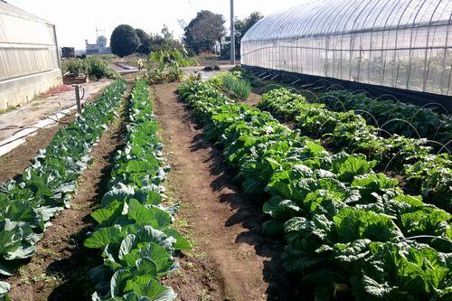 ハウスの間の野菜圃場
