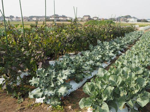 野菜栽培圃場(ほじょう)